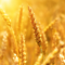 wheat, grain (Pixabay)
